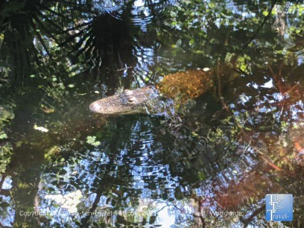 Alligator sighting at Lettuce Lake Park in Tampa, Florida