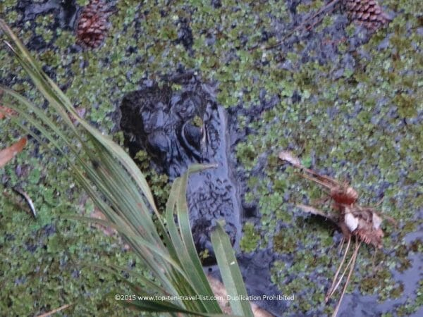 Alligator sighting at John Chestnut Park in Palm Harbor, Florida