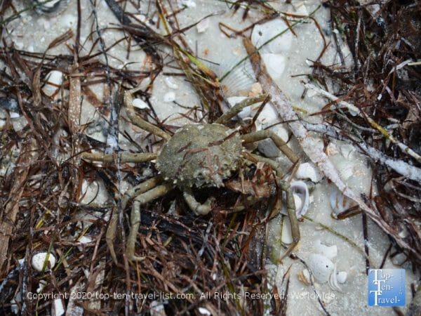 Crab at Anclote Island beach
