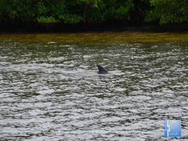 Dolphin sighting from the Odyssey Adventure cruise in Tarpon Springs, Florida