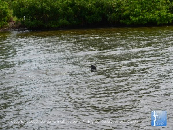 Sighting of a dolphin aboard the Odyssey Adventure cruise in Tarpon Springs, Florida