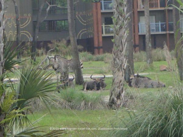 Views of zebras from Disney's Animal Kingdom Lodge Sanaa restaurant