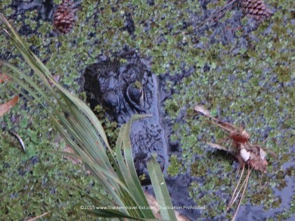 Alligator sighting at John Chesnut Park in Palm Harbor, Florida