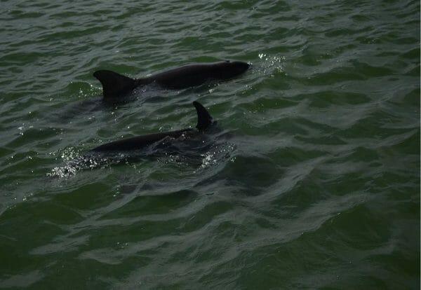 Dolphin sightings in Tarpon Springs, Florida