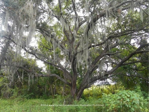 Pretty Spanish moss tree at Boyd Hill Nature preserve in St. Petersburg, Florida