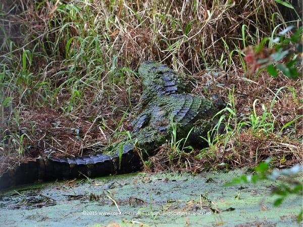 Gator sighting in Florida