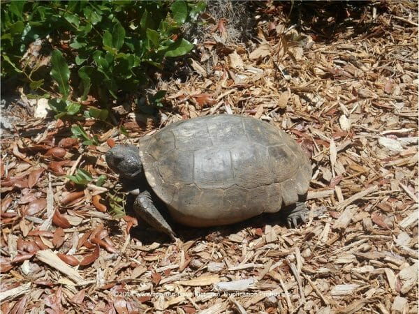 Gopher tortoise at James E. Grey Preserve in New Port Richey, Florida