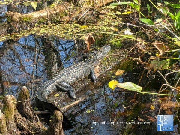Gator at the Corkscrew Swamp Sanctuary in Southwest Florida