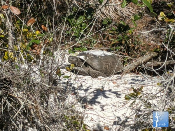 Gopher tortoise at The Naples Preserve