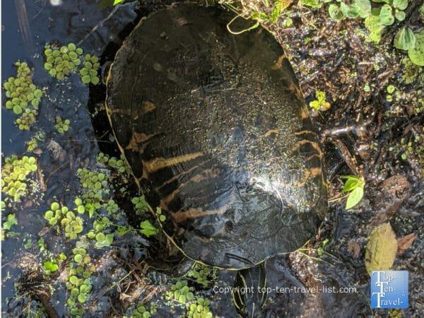 Turtle at the Corkscrew Swamp Sanctuary in Southwest Florida