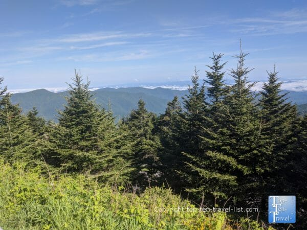 Beautiful pines at Mt. Mitchell State Park in Western North Carolina