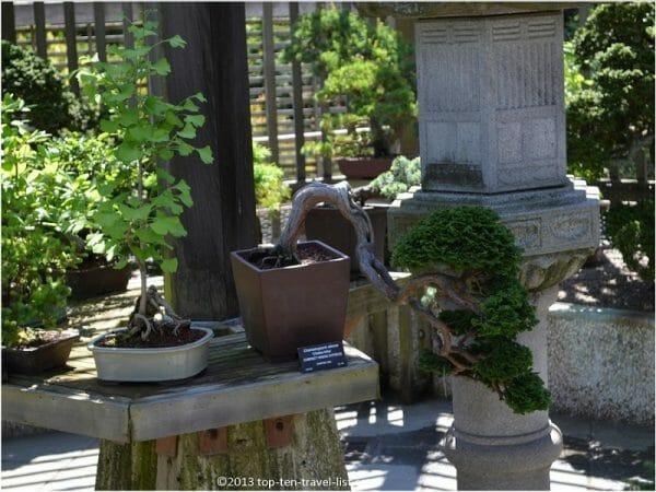 Bonsai collection at the Arnold Arboretum in Boston, MA