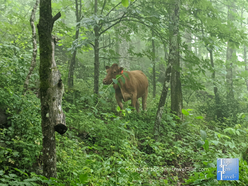 Cow on the Bearwallow Mountain trail in Western North Carolina