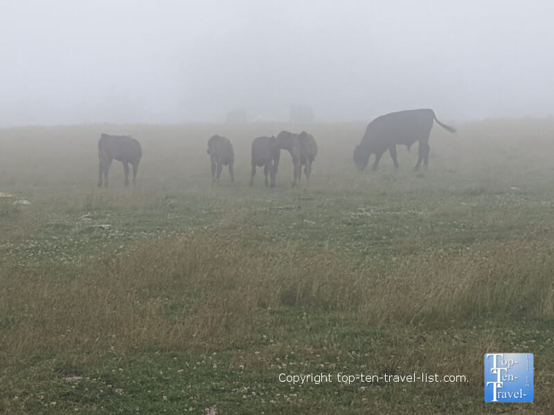 Cows at the summit of the Bearwallow Mountain trail in Hendersonville, North Carolina
