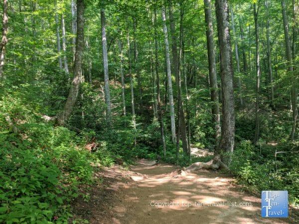 Tall trees lining the Moore Cove Falls trail in Transylvania County, North Carolina