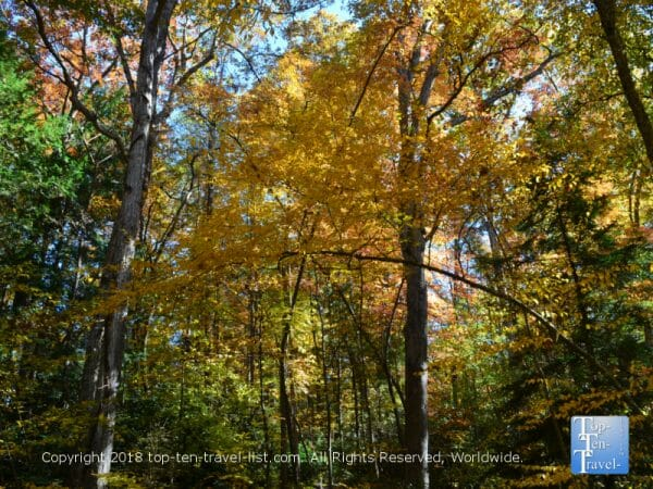 Beautiful golden foliage at the Asheville Botanical Gardens