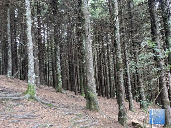 Balsam fir pine forest along the Black Balsam Knob trail in Western North Carolina