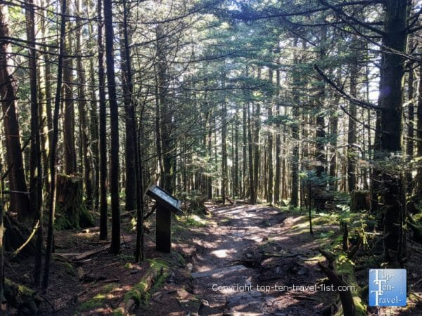 Pine trees lining the Balsam nature trail at Mt. Mitchell State Park in Western North Carolina