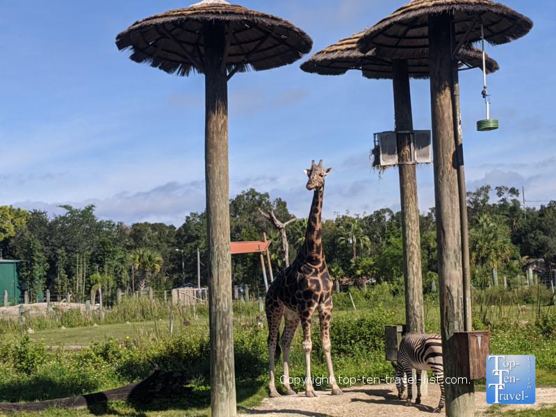 Stroll around the Lowry Park Zoo